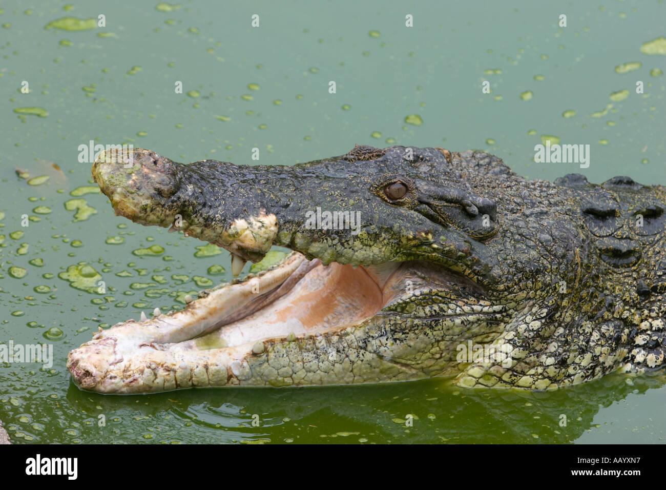 Portrait of an Estuarine crocodile. Langkawi Crocodile Farm, Langkawi island, Malaysia. - Stock Image