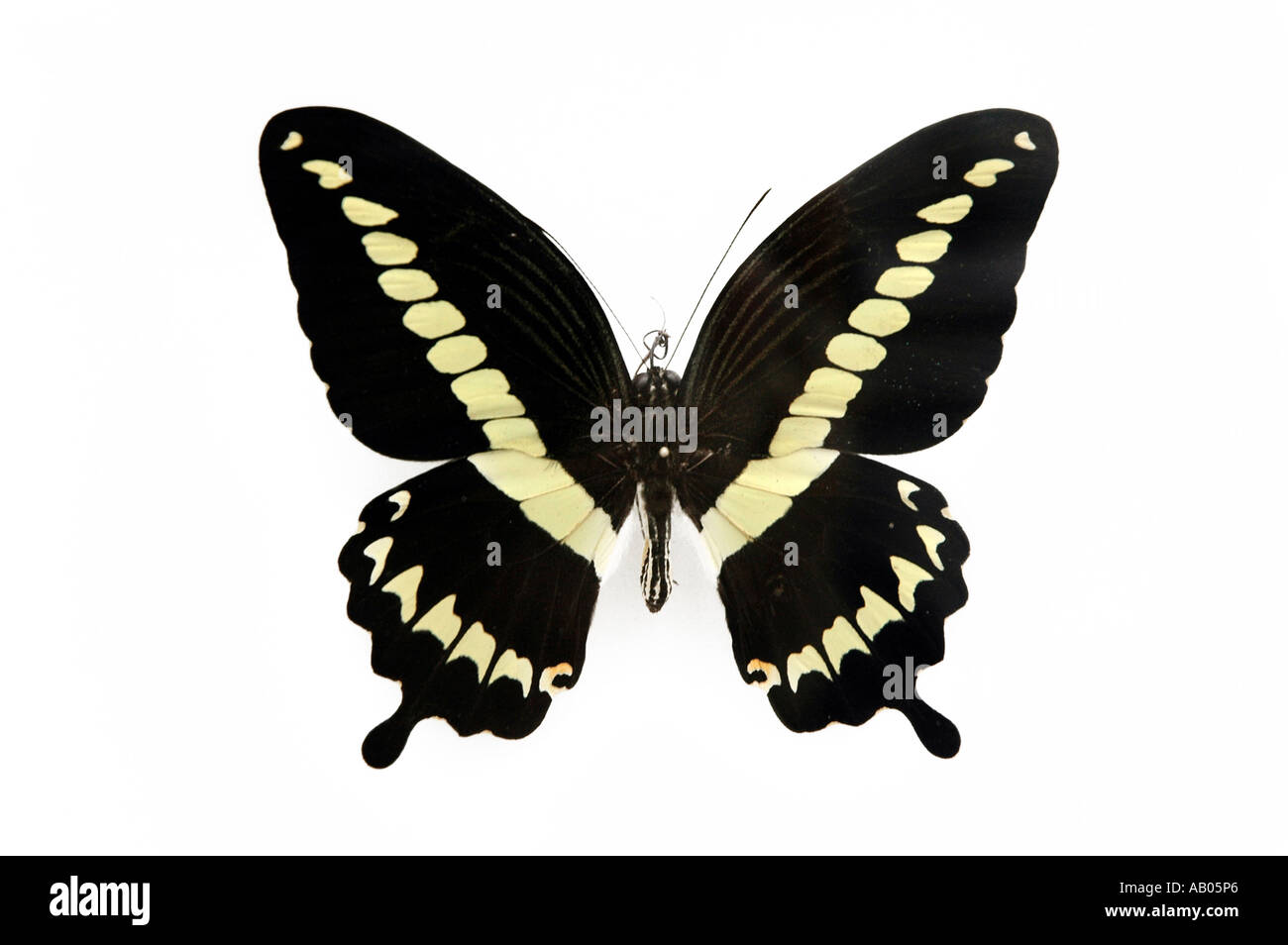 Papilio Gigon from Indonesian island Celebes - Stock Image