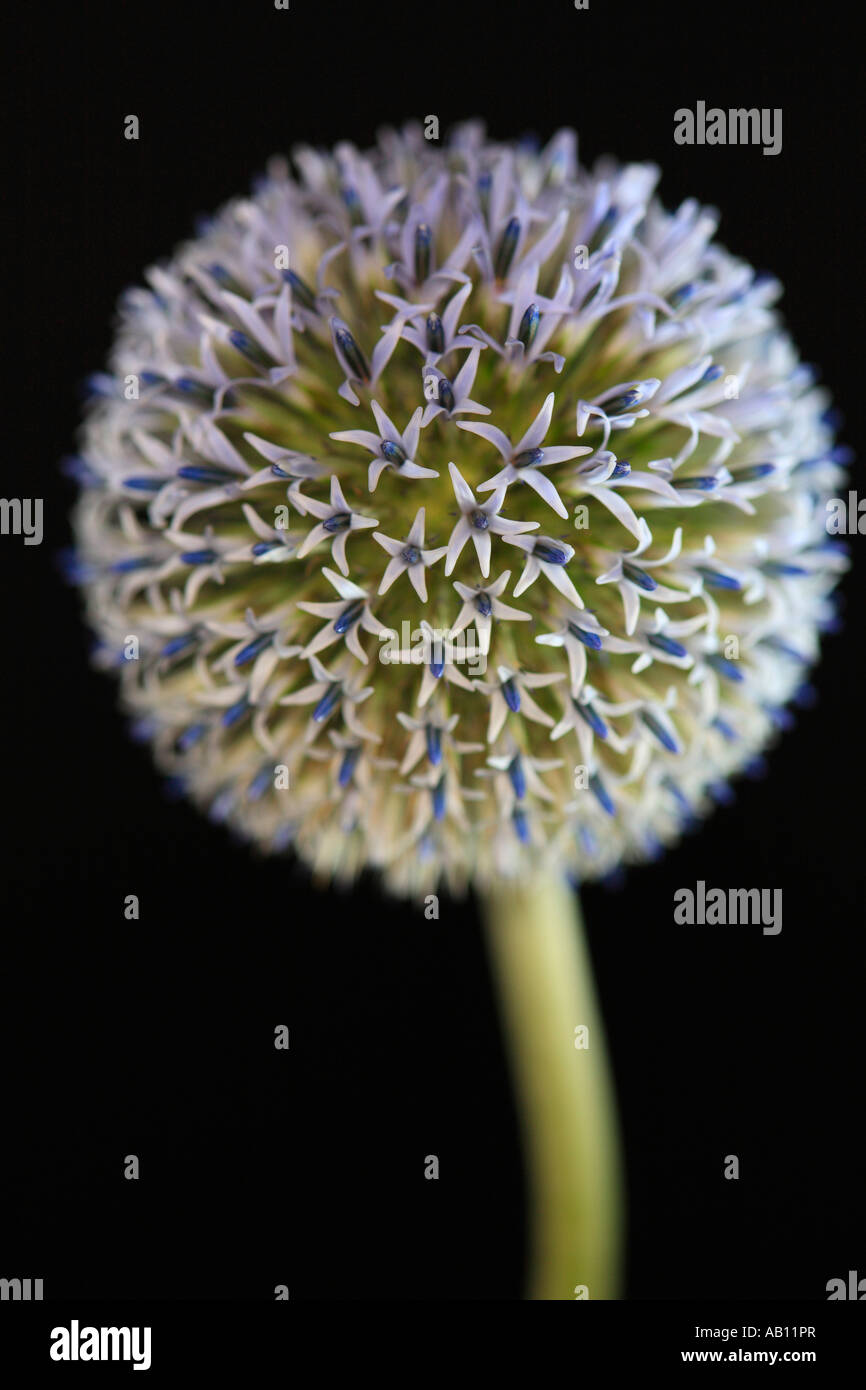 A Echinops bannaticus flower in bloom Globe thistle Taplow Blue - Stock Image