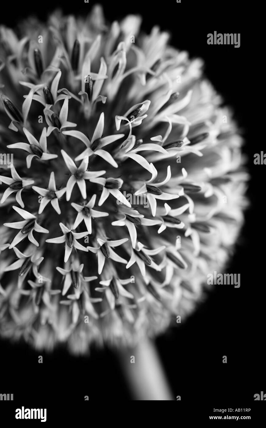 Black and white Echinops bannaticus flower in bloom Globe thistle Taplow Blue - Stock Image
