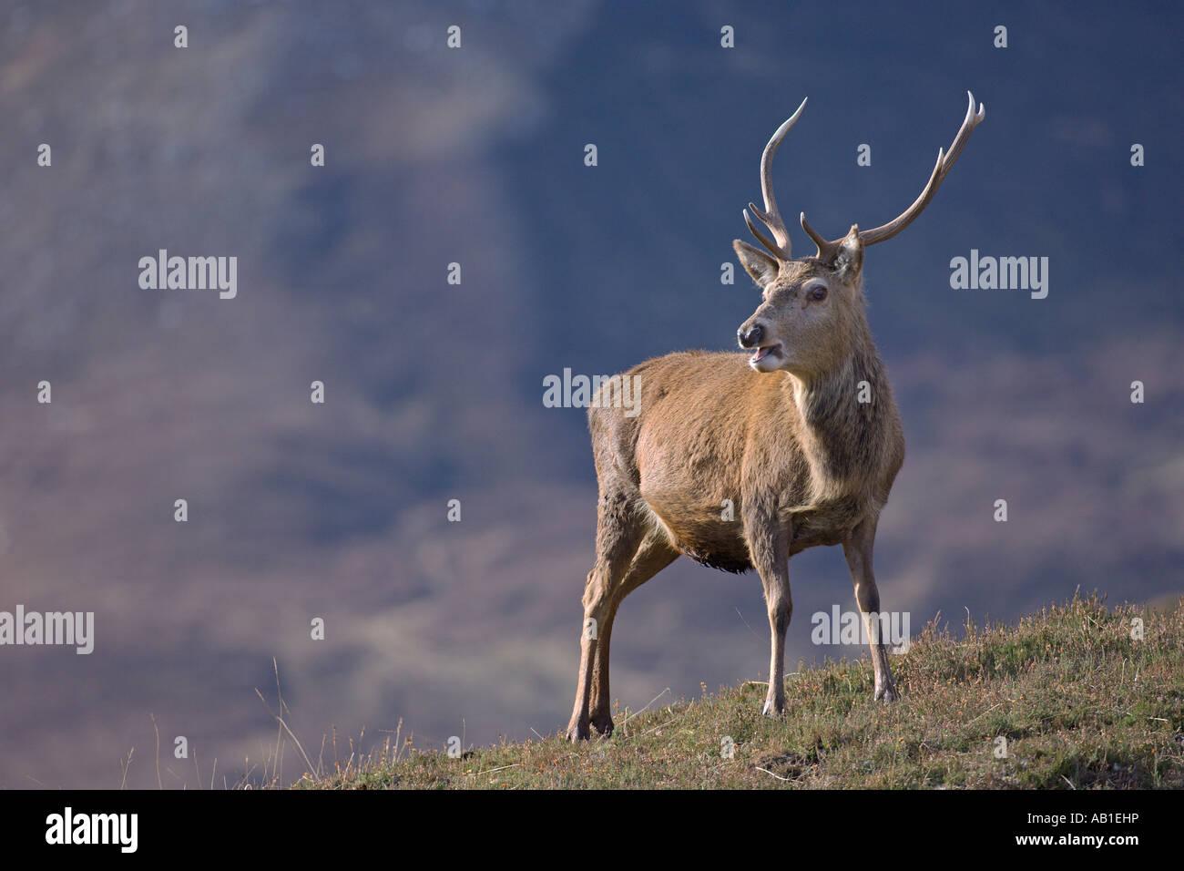 Red deer Cervus elaphus stag in Scottish glen Alladale Sutherland Scotland February - Stock Image