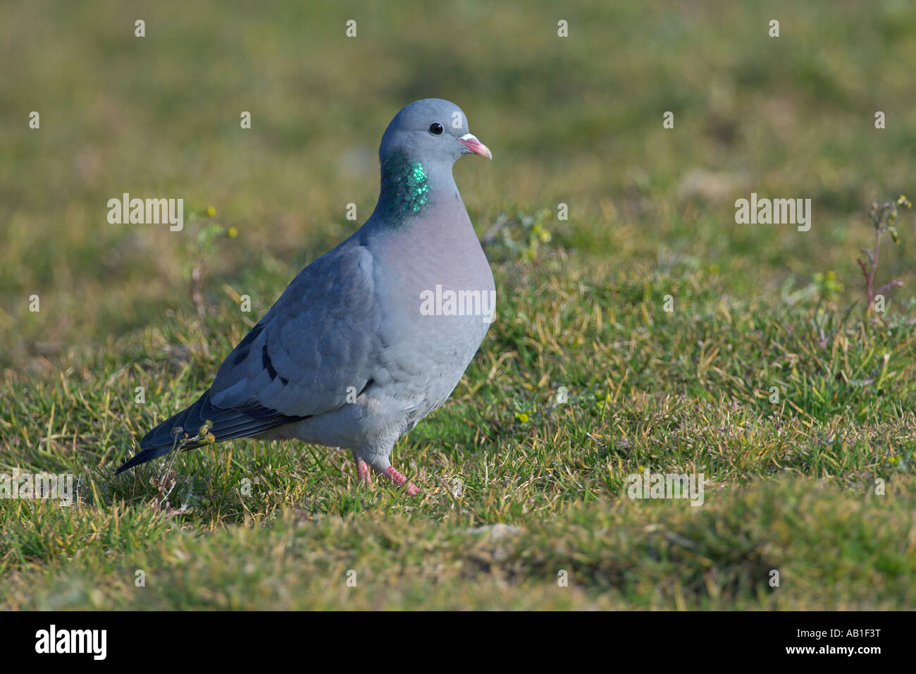 Stock dove or stock pigeon Columba oenas feeding in agricultural set aside field Norfolk England March - Stock Image