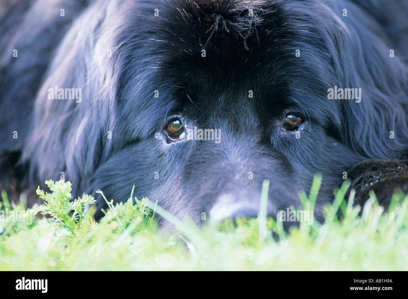 Close up of Newfoundland dog - Stock Image