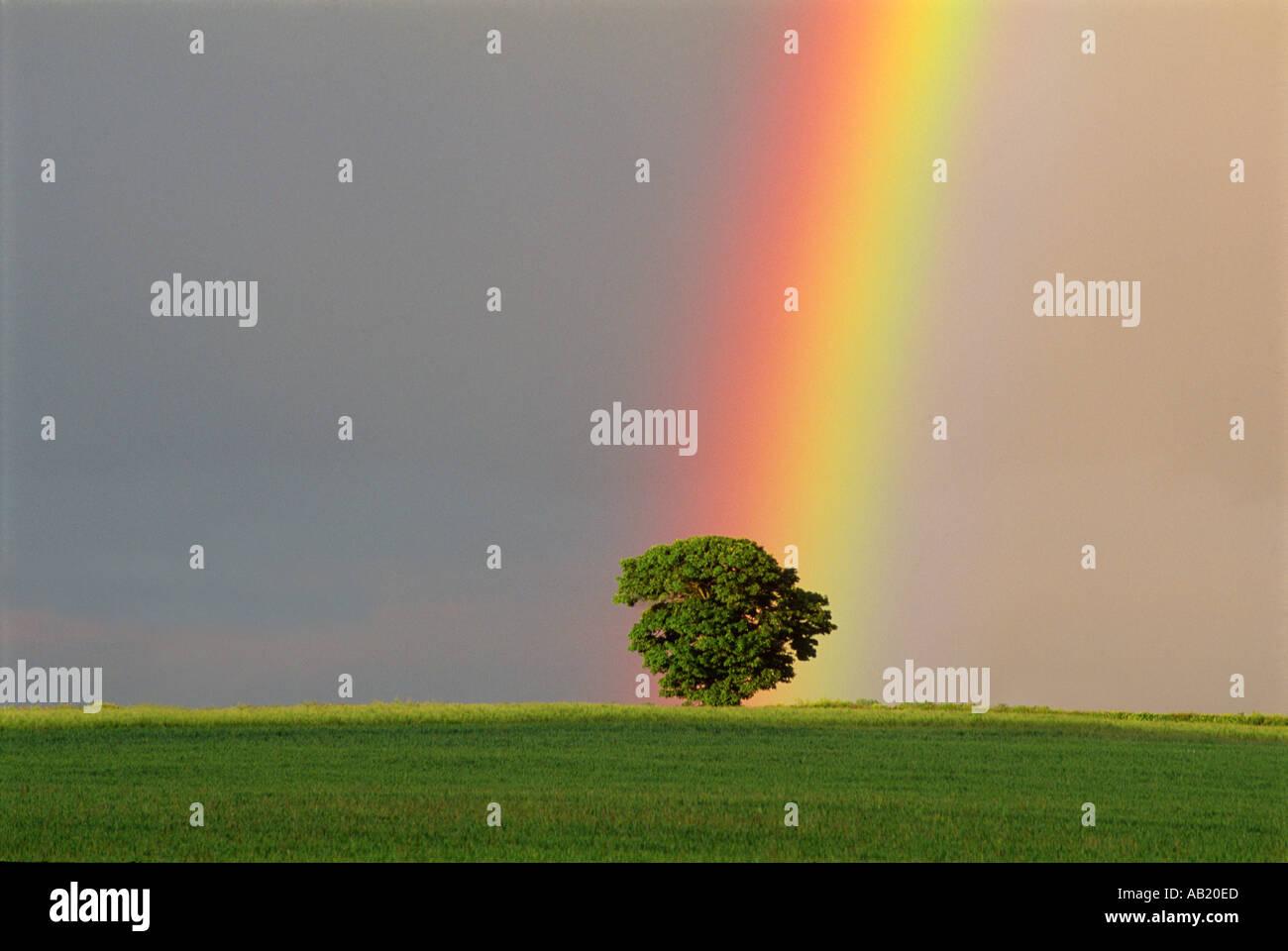 Rainbow over oak tree in Gloucestershire England UK - Stock Image