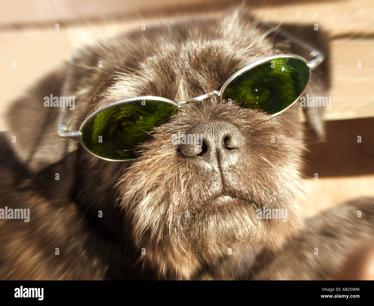 dog with sunglasses Hund mit Sonnenbrille - Stock Image