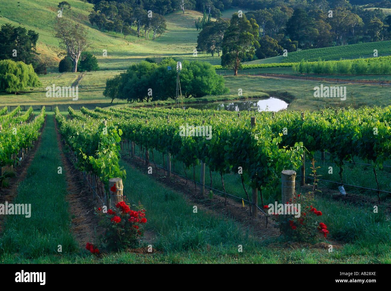 vineyard nr Oakbank Adelaide Hills South Australia - Stock Image