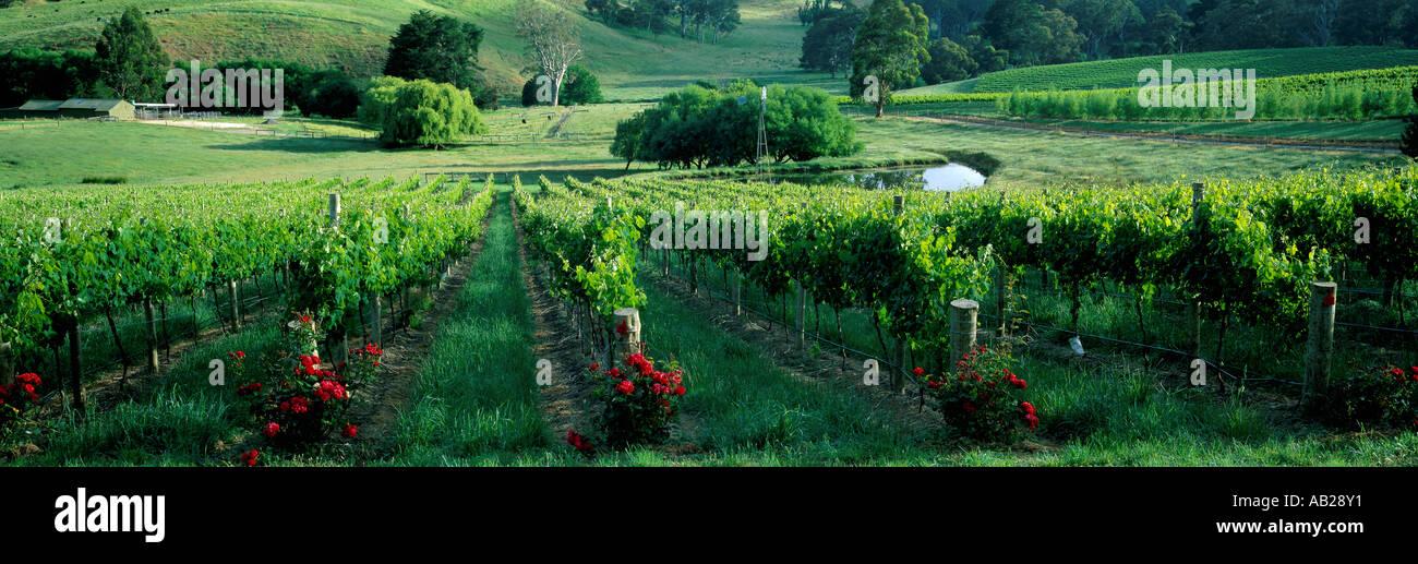 vineyard nr Oakbank Adelaide Hills South Australia Australia - Stock Image