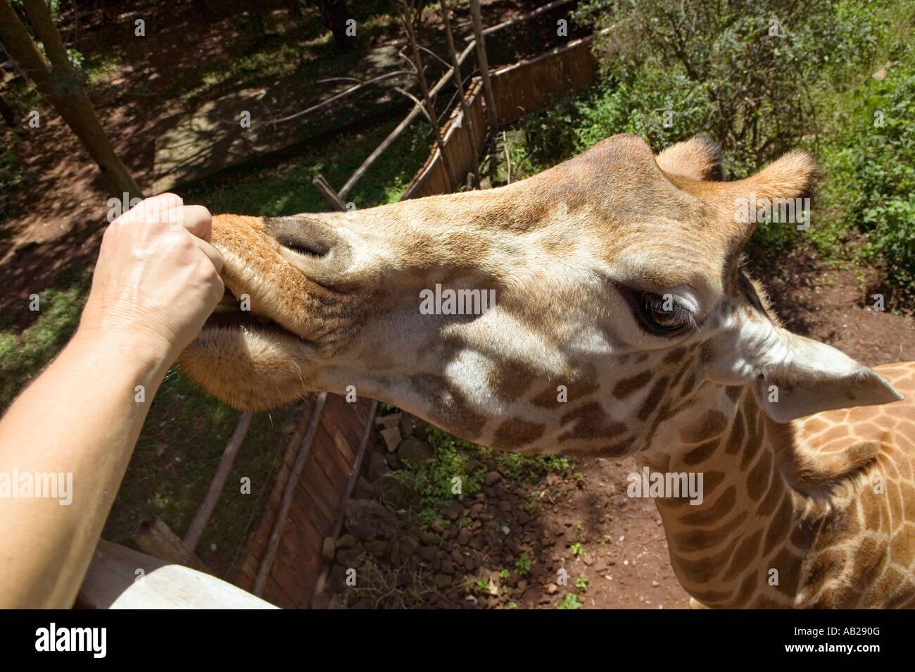 Close up of Rothschild giraffe s at the African Fund for Endangered Wildlife Giraffe Center near Nairobi National - Stock Image