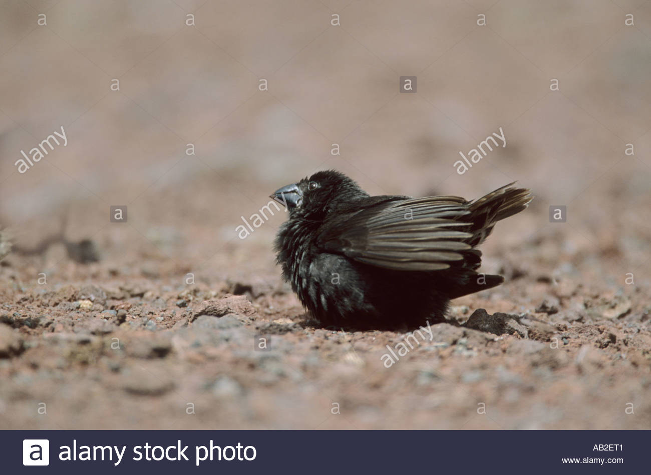 Large Ground Finch Geosspiza magnirostris One of Darwin s Finches Santa Cruz Island Galapagos - Stock Image