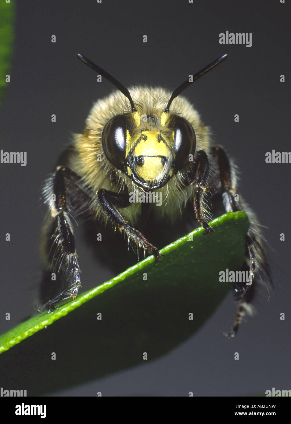 Hairy footed flower bee Stock Photo