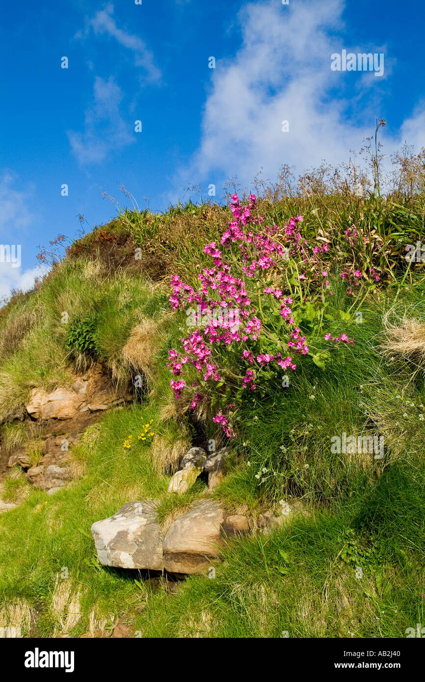 dh Red Campion PINKS UK Silene dioica growing on seashore cliff bank Scapa Flow Orkney Stock Photo