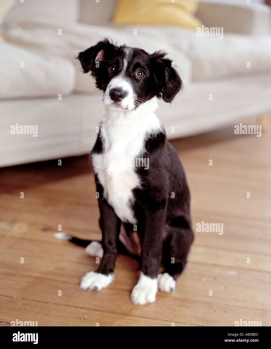 collie sheepdog puppy sitting in living room - Stock Image