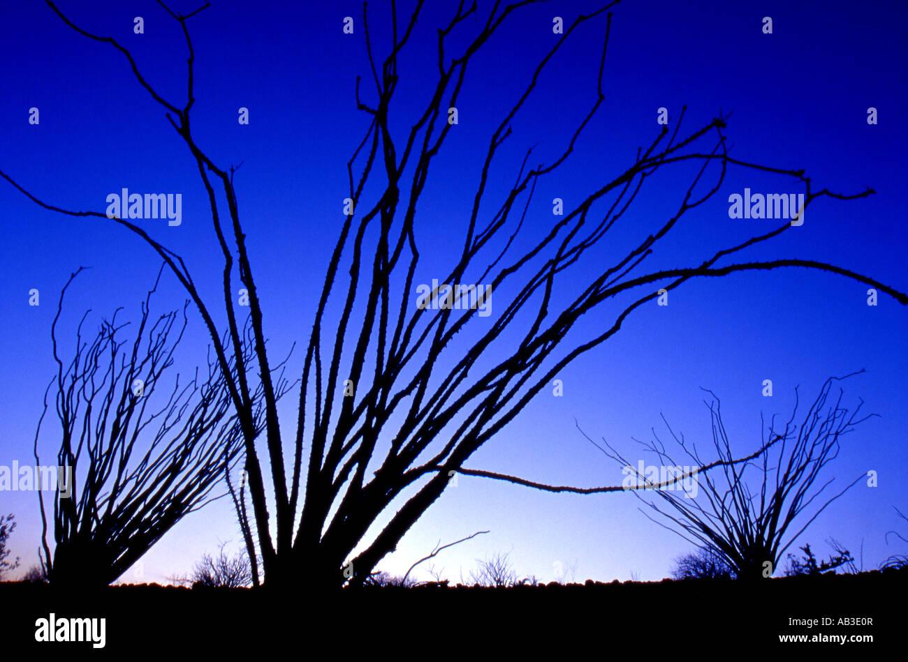 Ocotillos Anza Borrego Desert State Park Borrego Springs San Diego County California United States USA - Stock Image