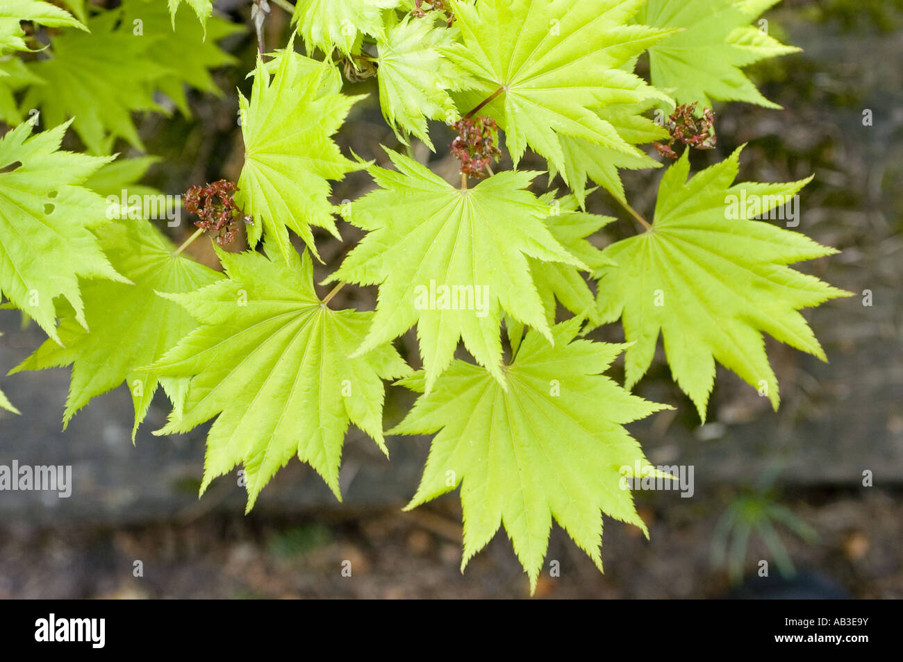 Pale Green Spring Leaves Close Up Of Golden Japanese Or Fullmoon