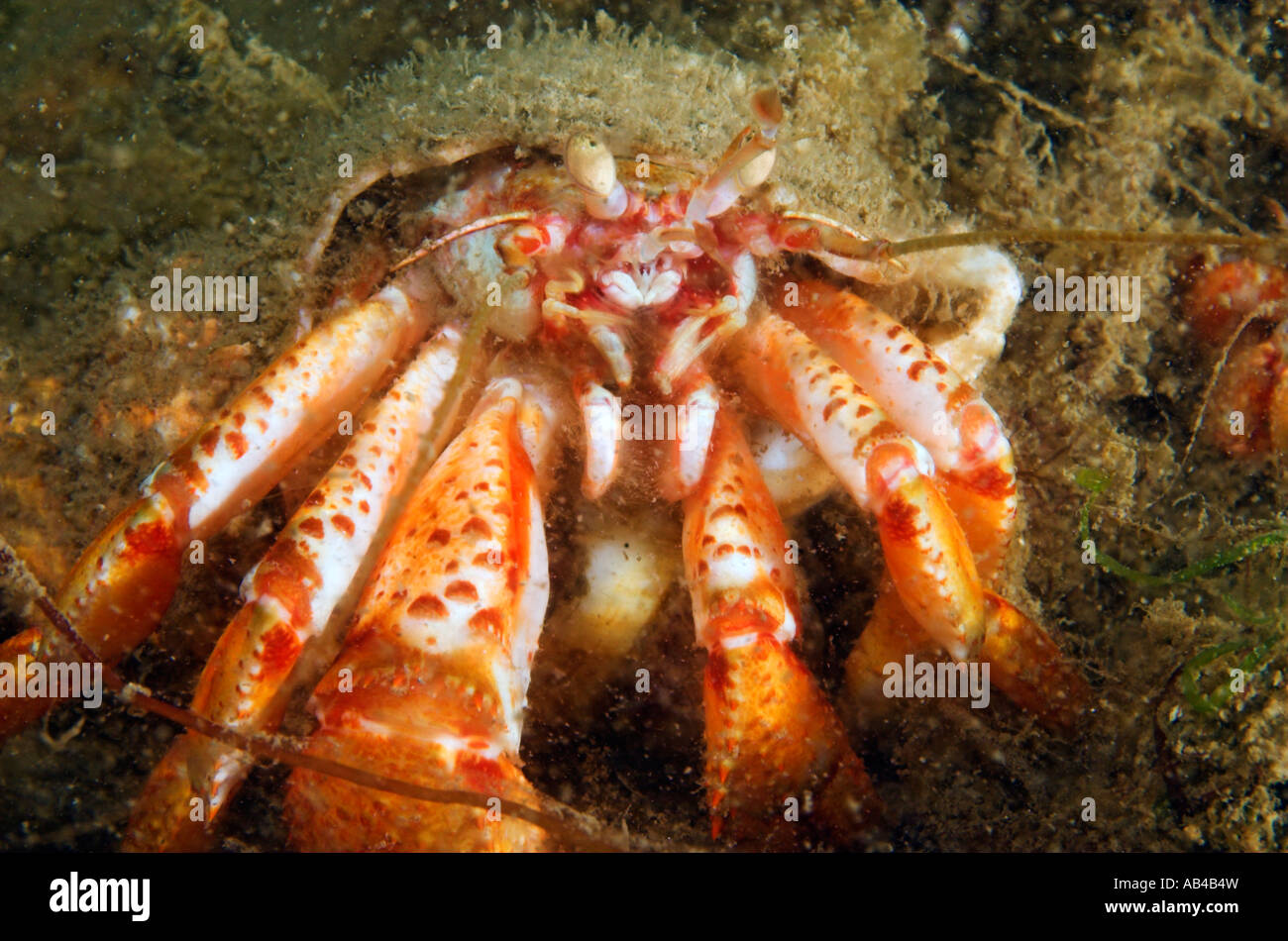 Closeup Hermit crab Pagurus bernhardus living underwater in whelk shell - Stock Image