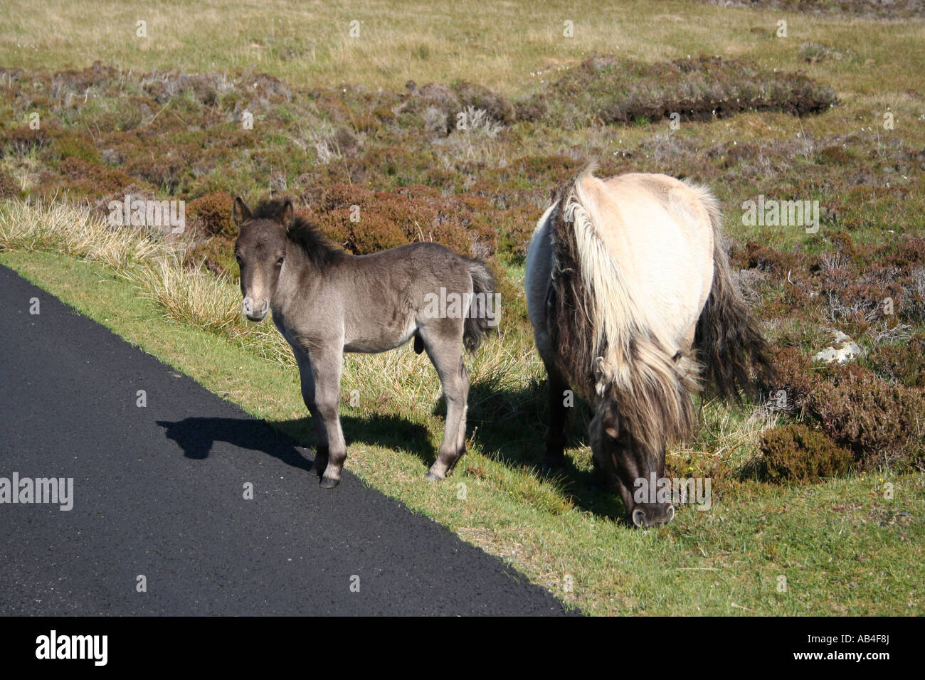 Eriskay pony and foal beside road Loch Druidibeg Nature reserve South Uist Outer Hebrides Scotland  June 2007 - Stock Image