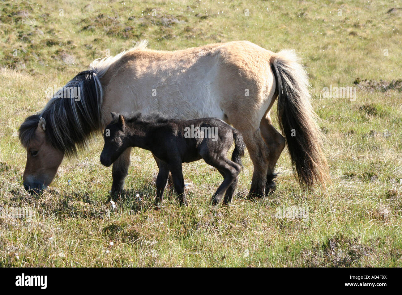 Eriskay pony and foal  Loch Druidibeg Nature reserve South Uist Outer Hebrides Scotland June 2007 - Stock Image