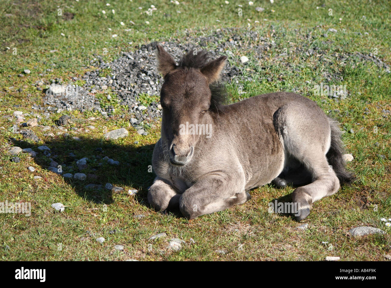 Eriskay pony foal sitting on grass Loch Druidibeg Nature reserve South Uist Outer Hebrides Scotland  June 2007 - Stock Image