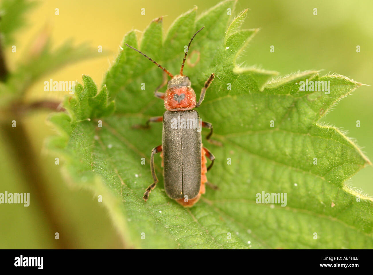 Leather winged or Soldier beetle on nettles Stock Photo