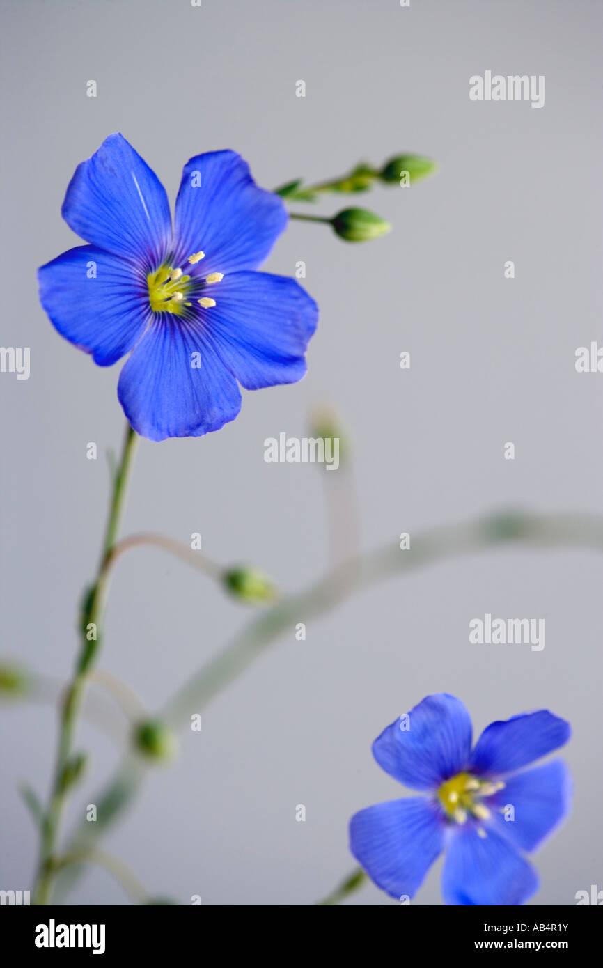 Flax flowers on stem, Nevada - Stock Image