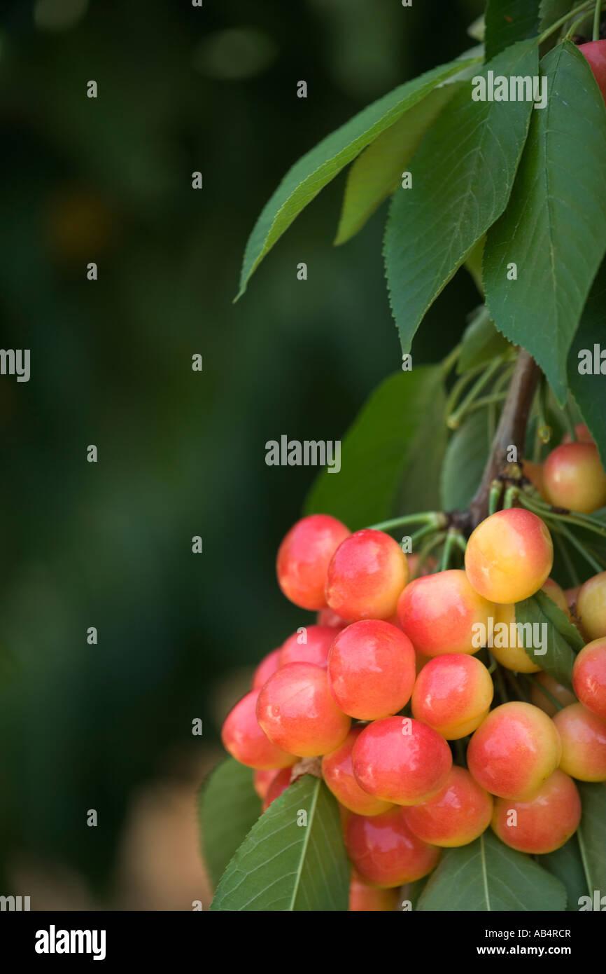 Cherries 'Rainier'  branch, foliage. - Stock Image
