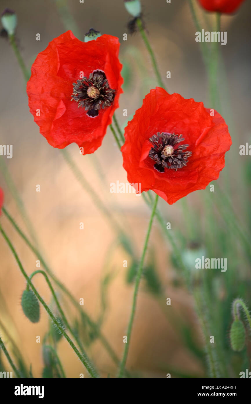 Oriental Poppies flowering in field, early morning light, California - Stock Image