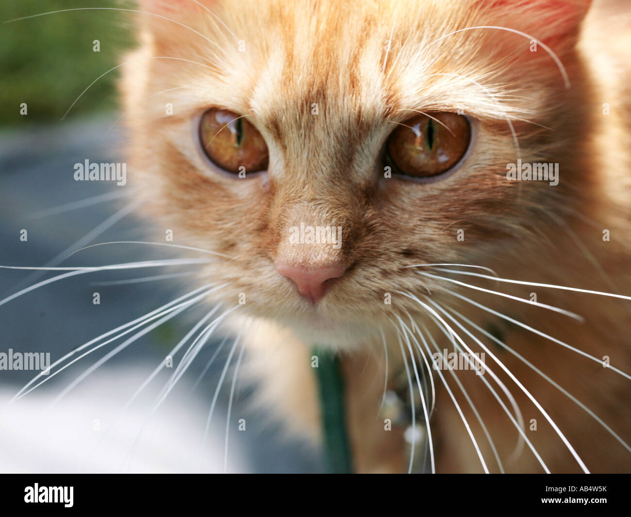 A close-up of the face of a ginger cat. Stock Photo