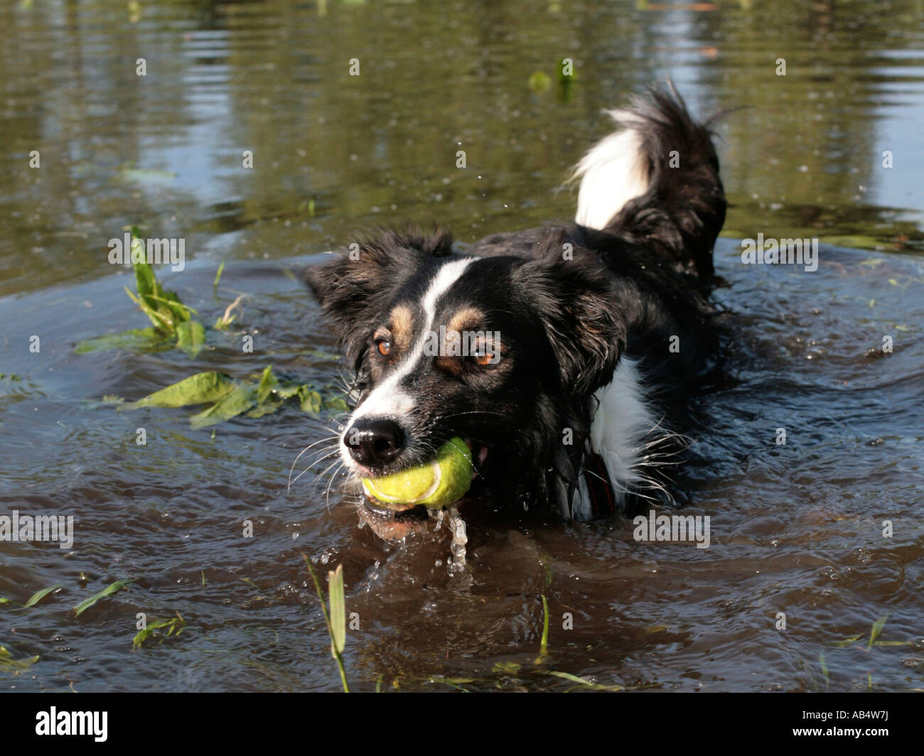 A collie in the water holding a ball in its mouth. - Stock Image