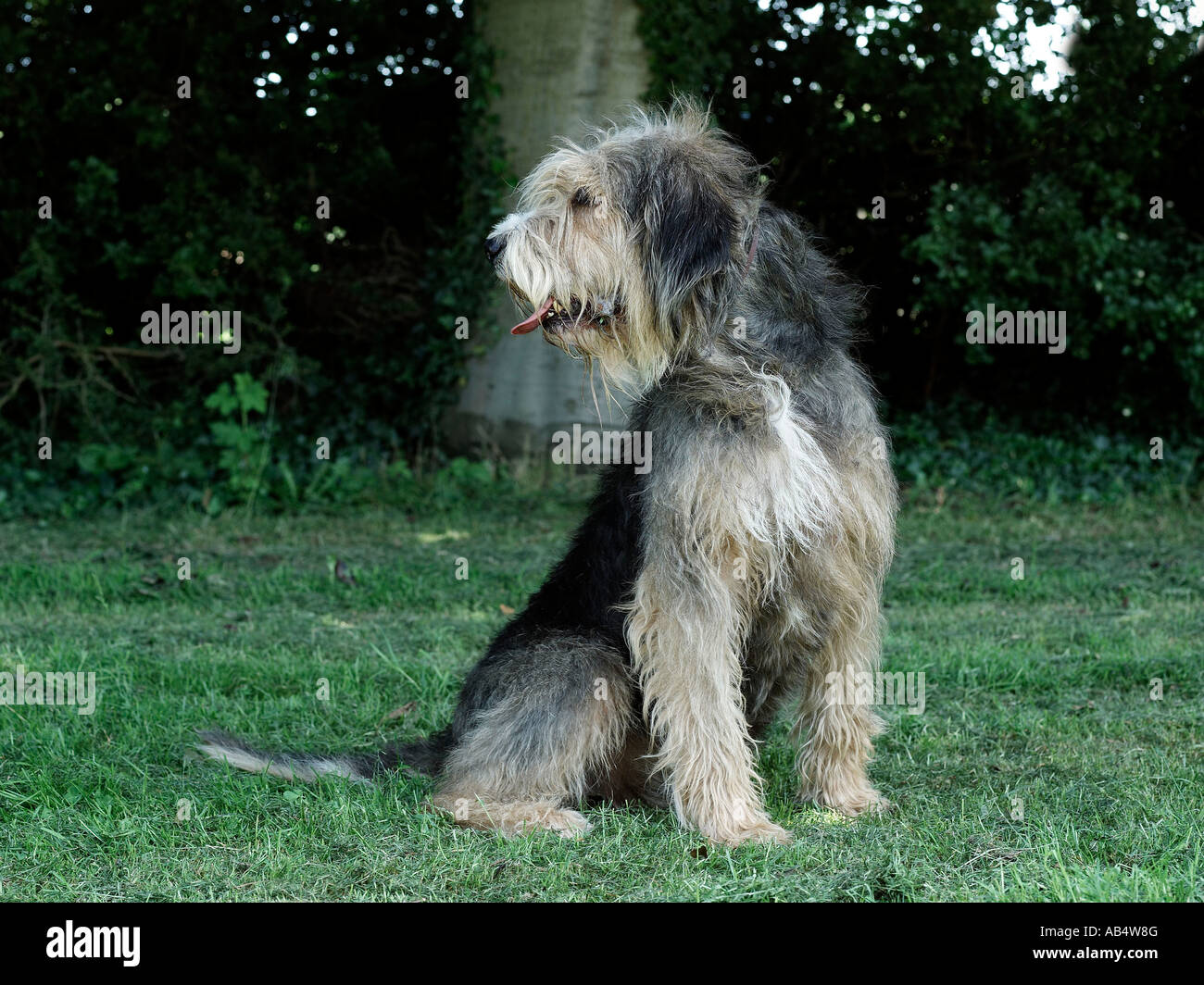 An otterhound standing in the grass. - Stock Image
