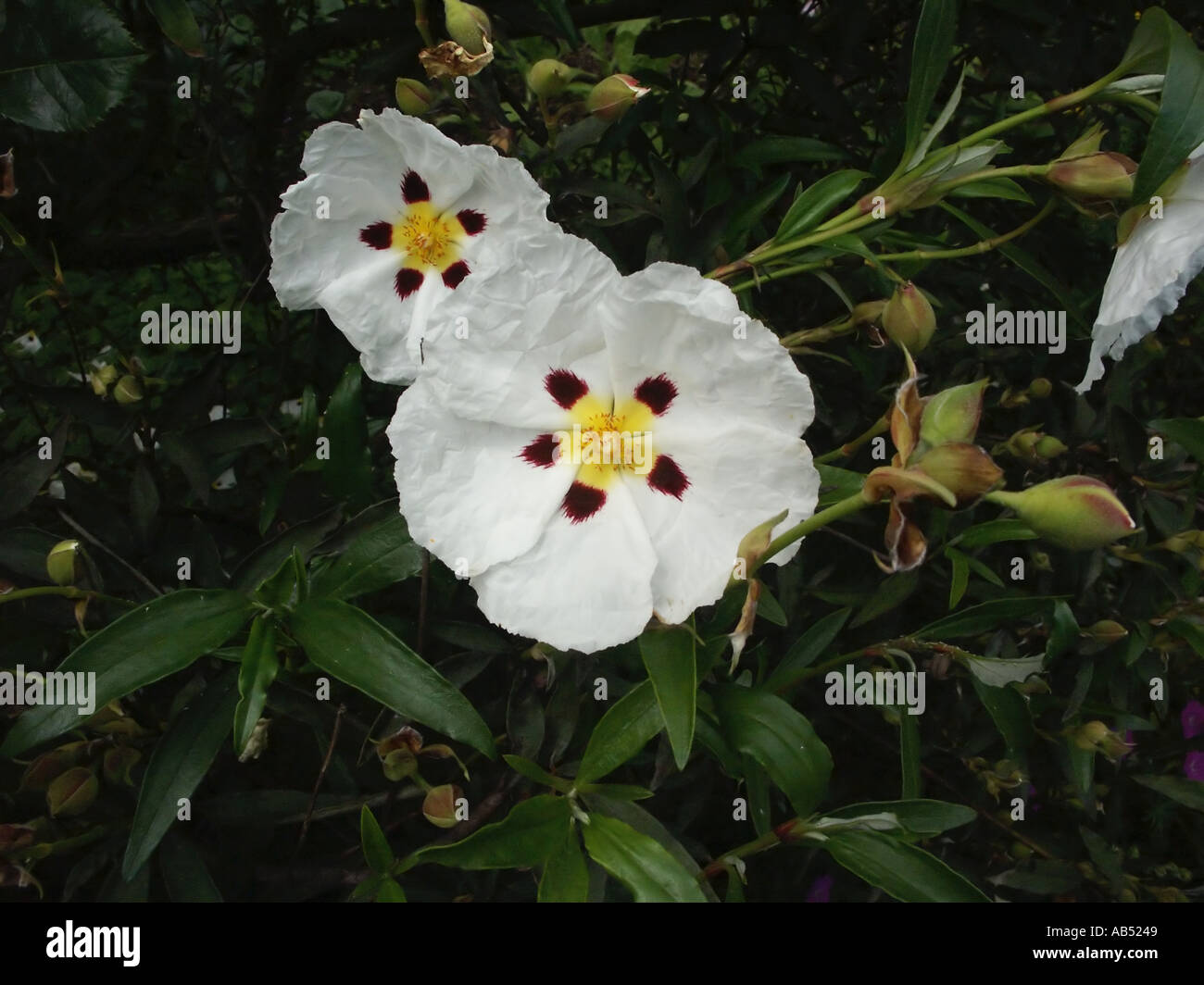 Cistus cistaceae rock rose white flower yellow centre evergreen cistus cistaceae rock rose white flower yellow centre evergreen shrub succession short lived flowers travel and tourism mightylinksfo Gallery