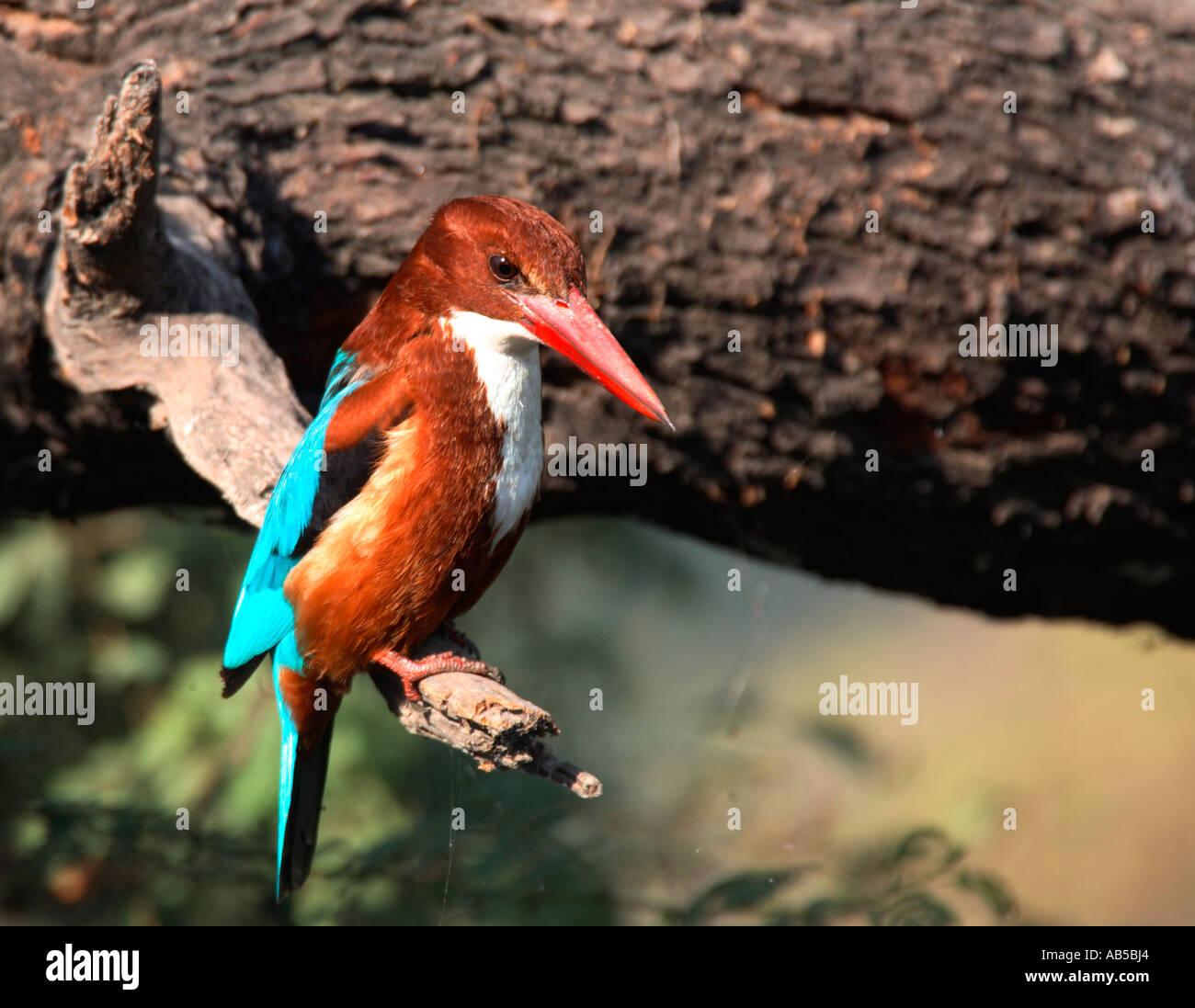 India,  Bharatpur, Keloadeo Ghana national park,  white breasted kingfisher,  birds - Stock Image
