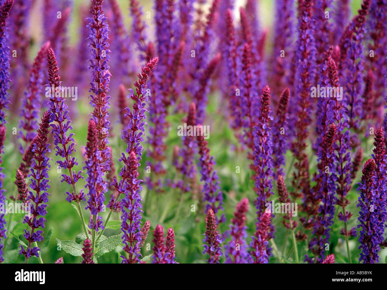 Group of Salvia Nemorosa Superba plants. - Stock Image