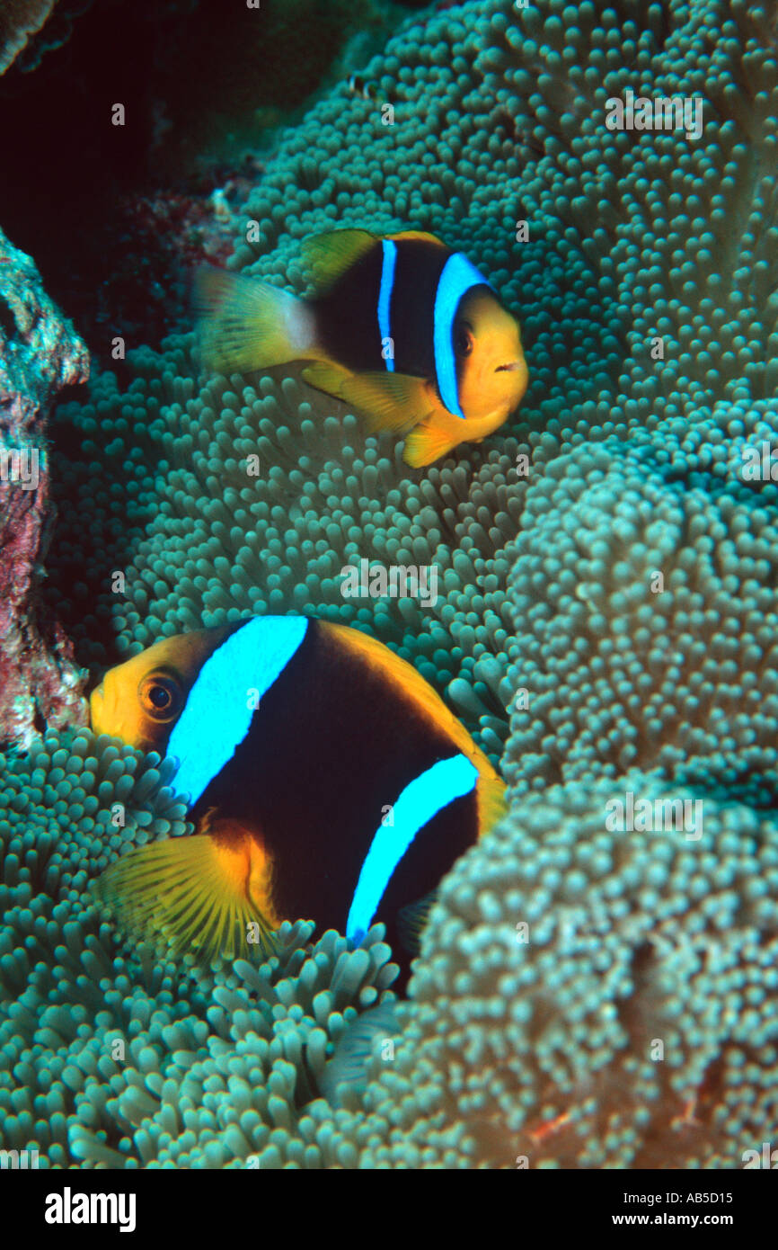 Orangefin anemonefish Amphiprion chrysopterus Mili Marshall Islands N Pacific  Stock Photo