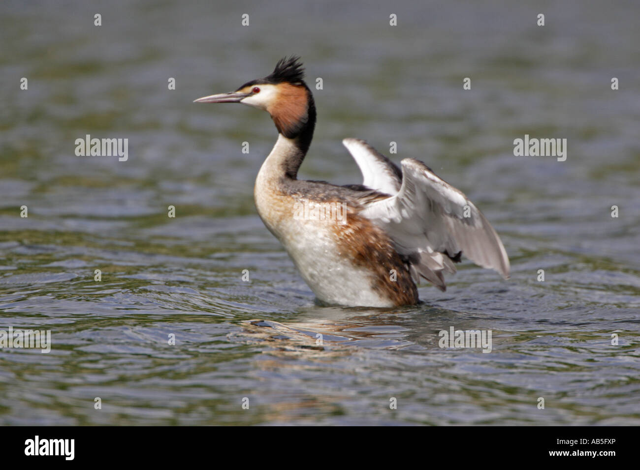 Great Crested Grebe in summer plumage flapping its wings - Stock Image