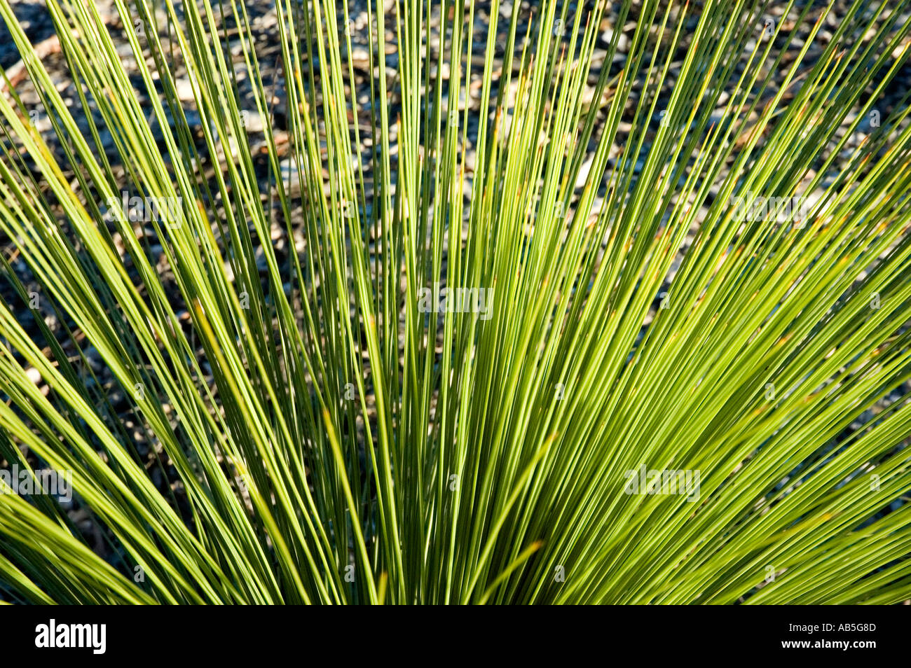 Isla Gorge, outback Queensland, Australia. 3515 Xanthorrhoea species - Stock Image