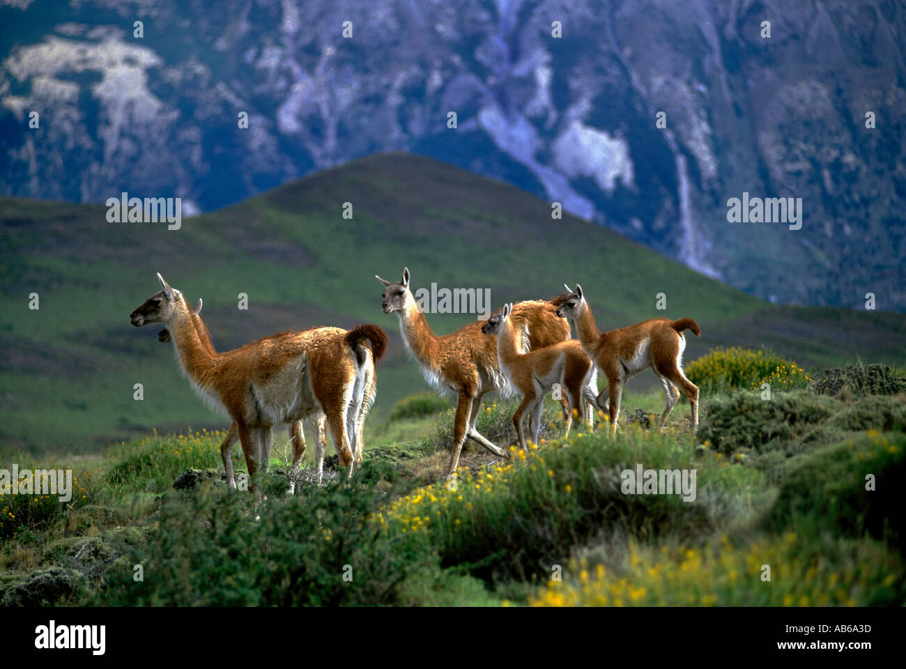 Female GUANACOS Lama guanicoe babies in TORRES DEL PAINE NP with ANDES PEAK behind PATAGONIA CHILE Stock Photo