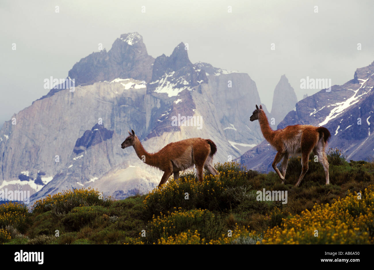 Herd of GUANACOS Lama guanicoe in TORRES DEL PAINE NATIONAL PARK with ANDES PEAK behind PATAGONIA CHILE Stock Photo