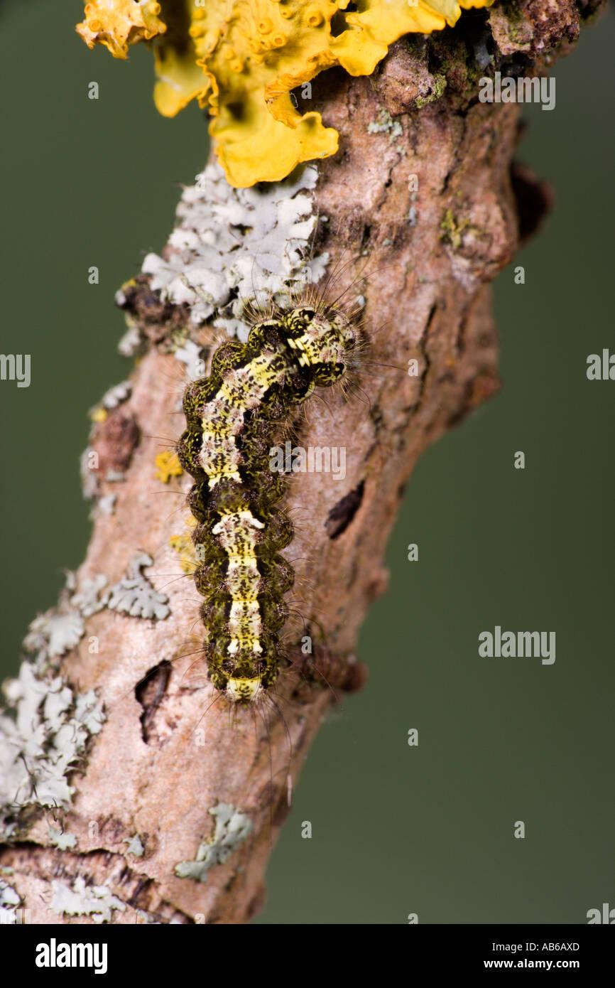 Buff Footman Eilema deplana Larva feeding on lichen potton bedfordshire Stock Photo
