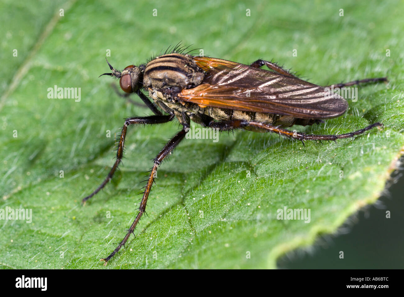 Empis tessellata dance flie on leaf showing detail and markings potton bedfordshire Stock Photo
