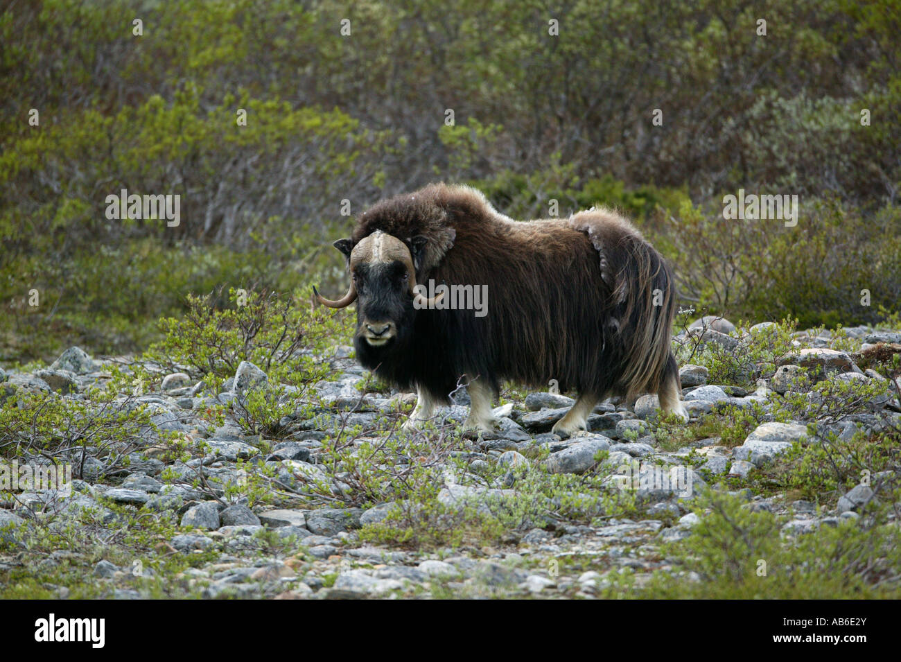 Muskox in Dovrefjell national park, Norway - Stock Image