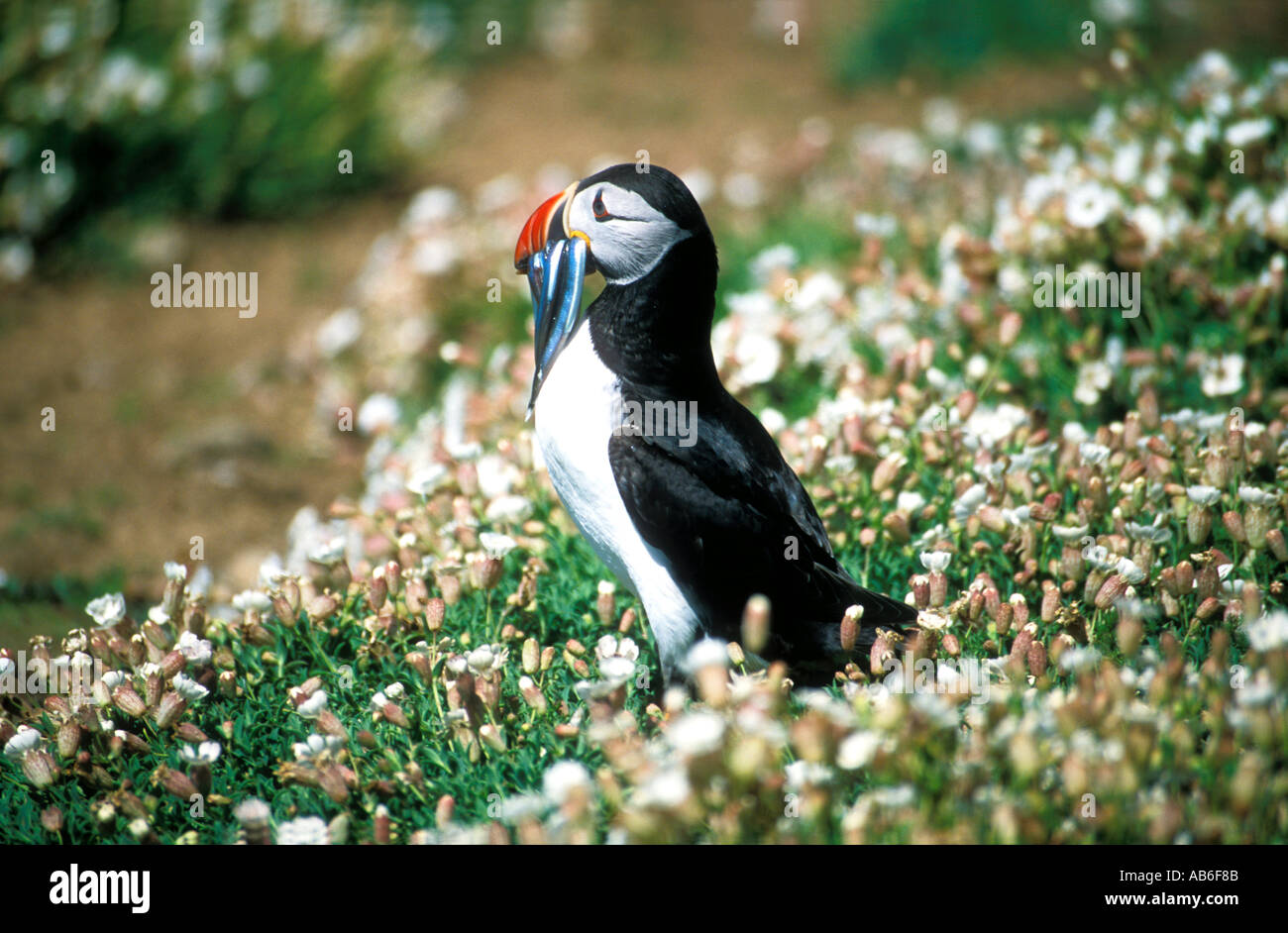 "Atlantic Puffin Fratercula arctica with sand eels on ""Skomer Island"" Nature Reserve Pembrokeshire Cymru Wales United Stock Photo"