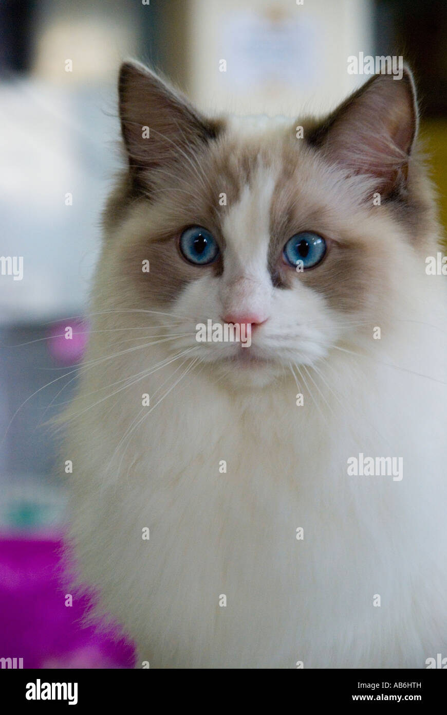 A blue eyed Rag Doll cat - Stock Image