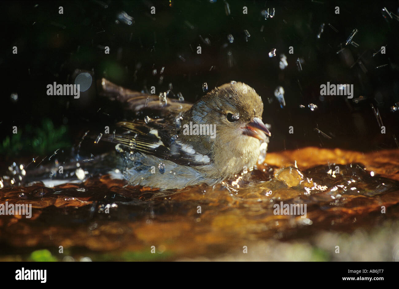 madeira chaffinch in water Fringilla coelebs maderensis - Stock Image