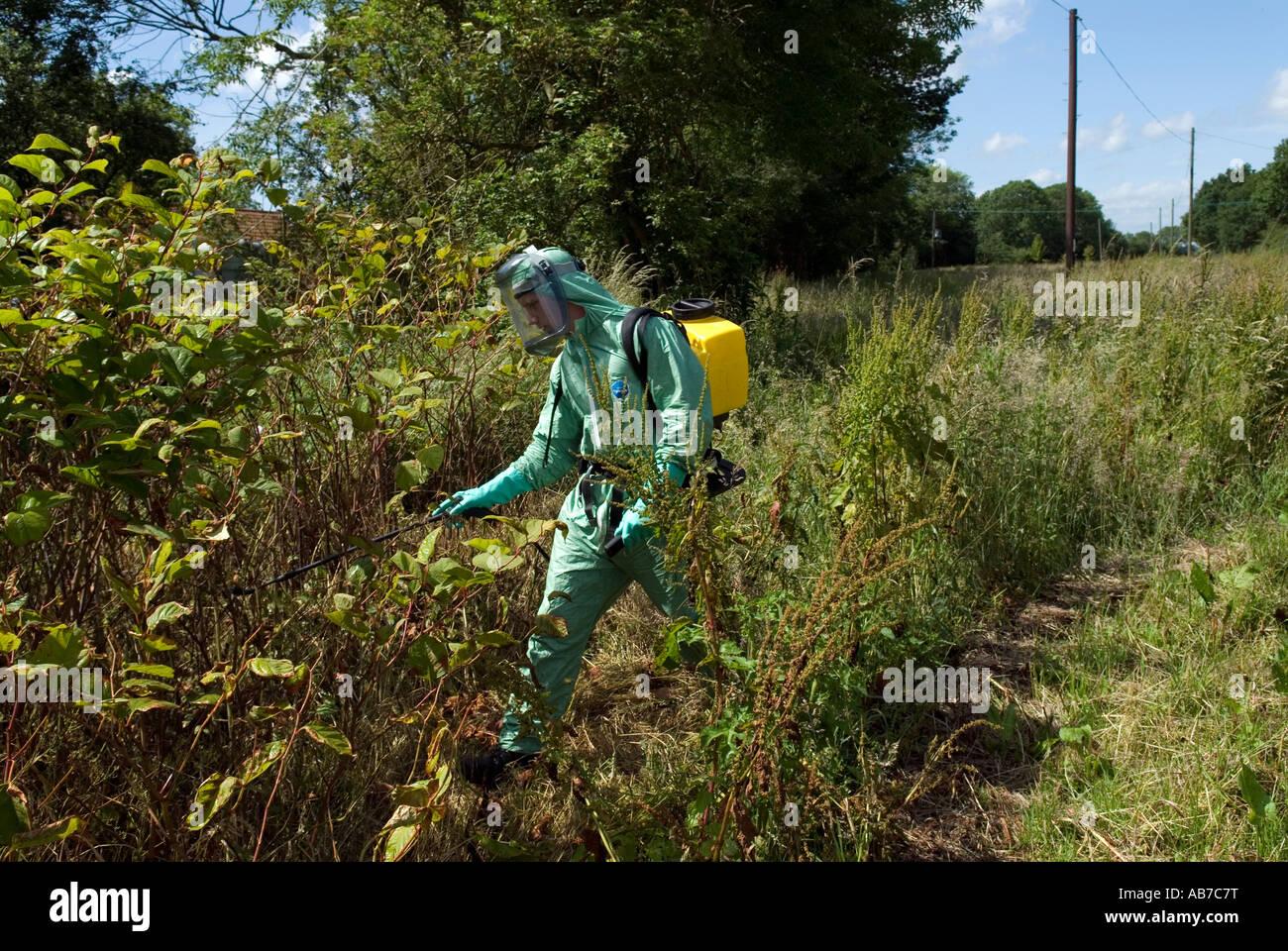 JAPANESE KNOTWEED. ERADICATION EXPERT sprays invasive Japanese Knotweed in Suffolk,England,UK Stock Photo
