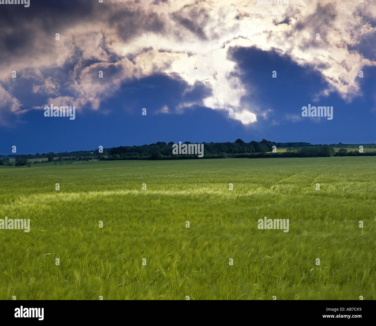 GB - GLOUCESTERSHIRE:  Barley Field in the Cotswolds Stock Photo