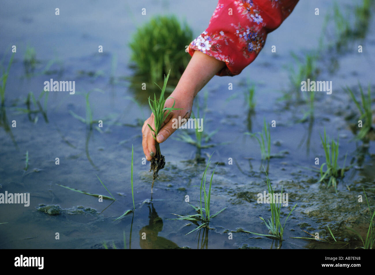 Close up of hand planting stalks in rice paddy in Asia - Stock Image