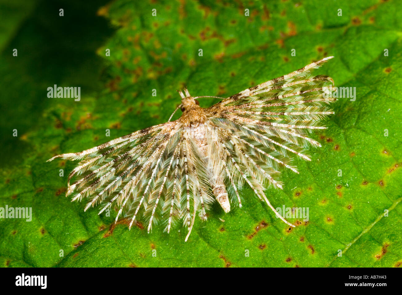 Many Plumed Moth (Alucida hexadactyla) on leaf with wins open showing detail of the plumes potton bedfordshire Stock Photo