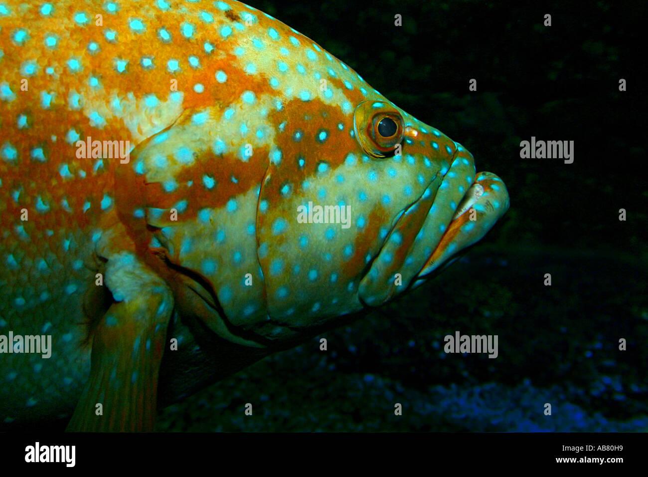 blacktipped grouper, blacktip grouper, blacktip rockcod (Epinephelus fasciatus), portrait, lateral Stock Photo