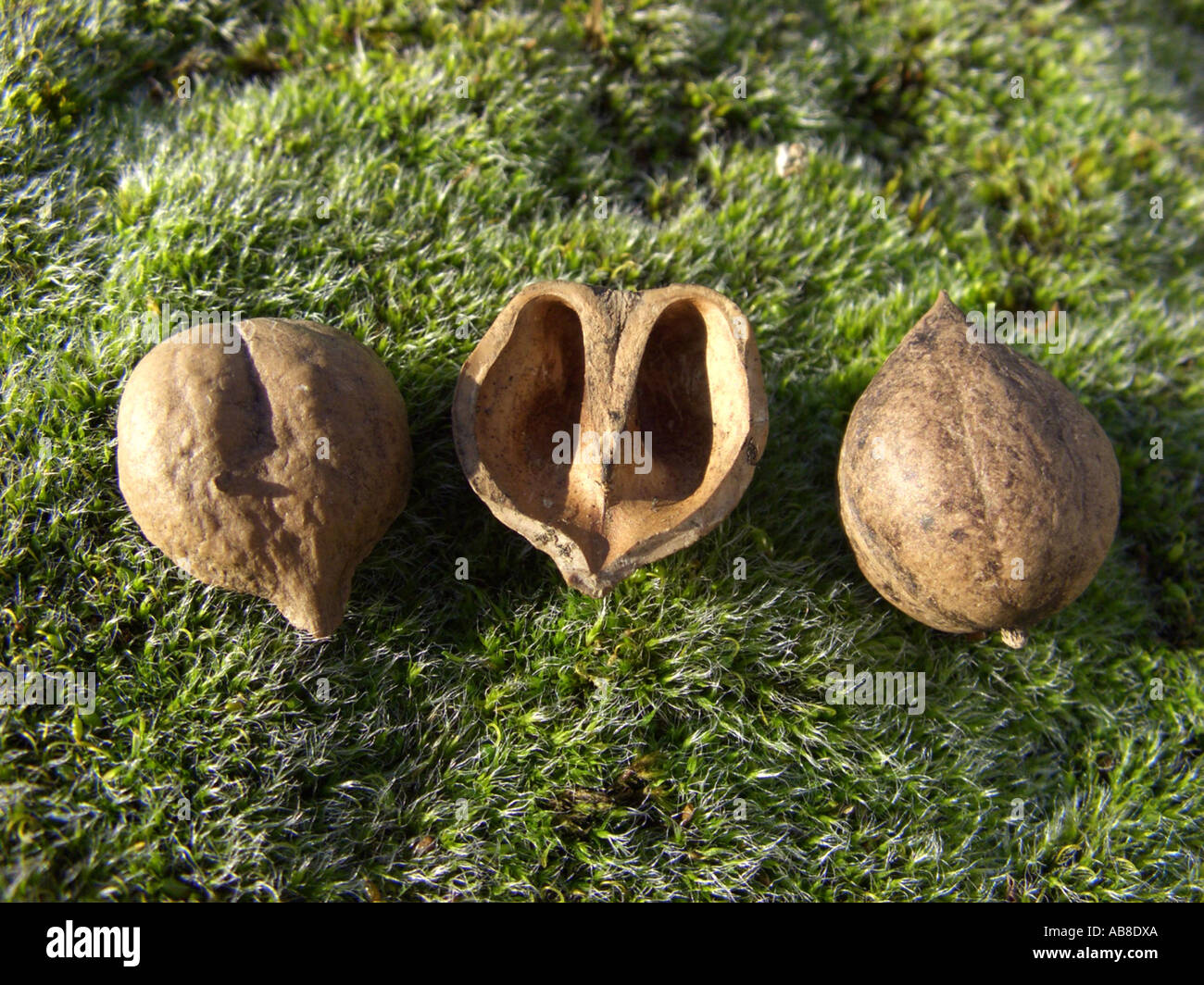 bitter-nut hickory, bitternut hockory (Carya cordiformis), fruits Stock Photo