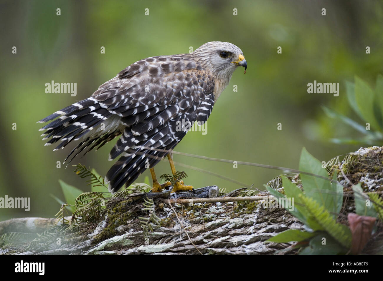 red-shouldered hawk (Buteo lineatus), with bullfrog as prey, USA, Florida Stock Photo